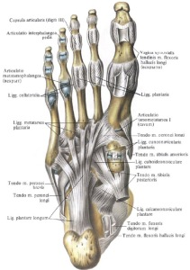 Anatomy Foot