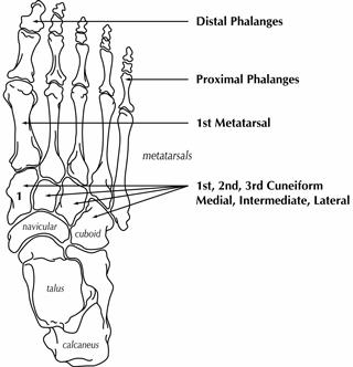 Oberes Sprunggelenk furthermore Foot Function And Fascial Lines The 1st Mpj moreover 24 further Kidney Section besides Anatomical terms of motion. on sagittal body parts diagram