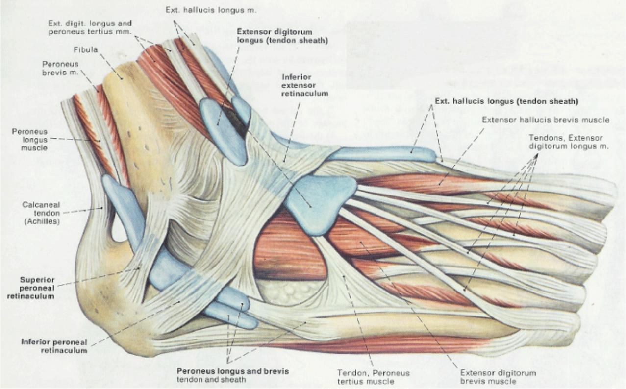 Understanding (Subtle) Peroneal Subluxation: Treating the Cause vs ...