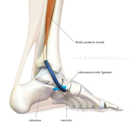 calcaneonavicular-ligament_blog